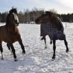 Hästar leker i snön